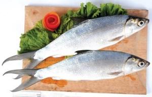 omega 3 di bandeng 6 kali lipat ikan salmon