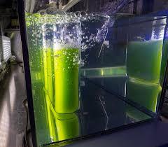 mikroalga sebagai biofilter dan bioindikator