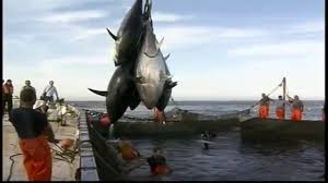 penanganan ikan tuna